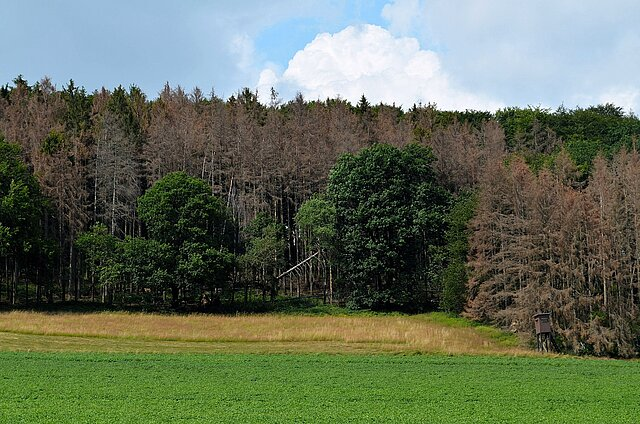 Zu sehen ist ein Waldrand an einem Hang. Im Vordergrund sieht man eine Wiese und einen Hochstand. Im Wald selbst sind zahlreiche abgestorbene braune Fichten zu sehen. Sie deuten auf einen Käferbefall hin. Zwischen den braunen Fichten stehen vereinzelt gesunde grüne Laubbäume.